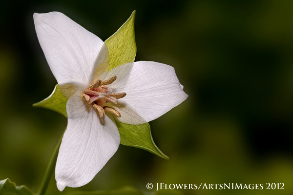 Drooping Wakerobin (Trillium flexipes)
