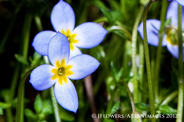 Thymeleaf Bluet (Houstonia serpyllifolia Michx)