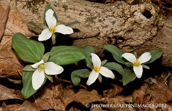 Snow Trillium (Trillium navale)