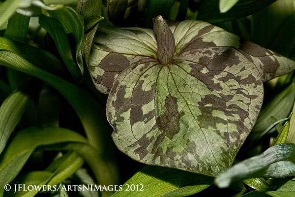 Toadshade Trillium (Trillium sessile)