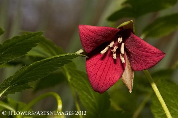 Wakerobin red (Trillium Erectum)