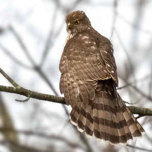 Coopers Hawk Immature, Union Mills Wetlands, Carroll County, Maryland