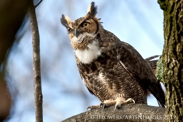 Great Horned Owl, Carroll County, Maryland