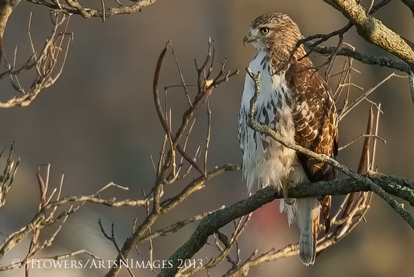 Red-tailed Hawk, Gettysburg National Battlefield, Pennsylvania