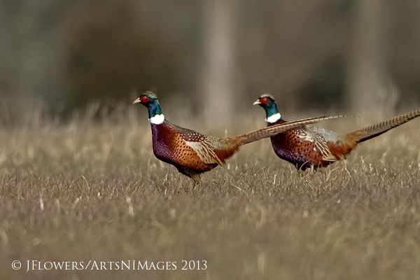 Ring-necked Pheasants, Freedom Township Grasslands, Adams County, Pennsylvania