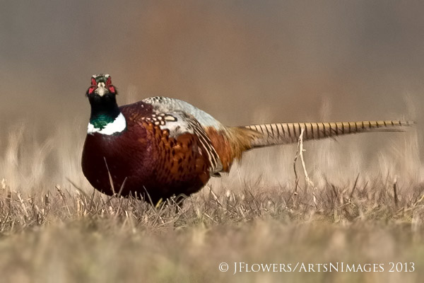 Ring-necked Pheasant, Freedom Township Grasslands, Adams County, Pennsylvania