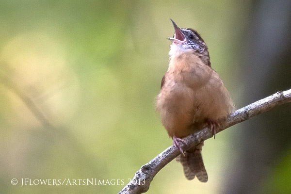 """Learning The Song"" an immature Carolina Wren"