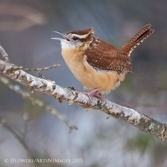 "Wren is Enough!!!…""A Song for the Winter Blues"" 