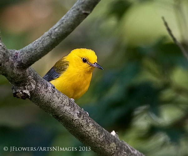 Prothonotary Warbler, Kraft Neck Road, Dorchester County, Maryland