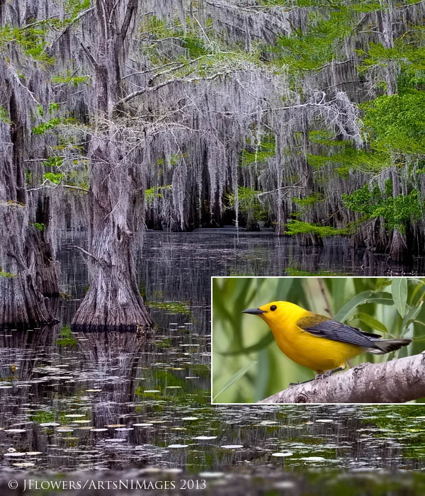 Caddo Lake State Park, Texas....Prothonotary Warbler (Inset)