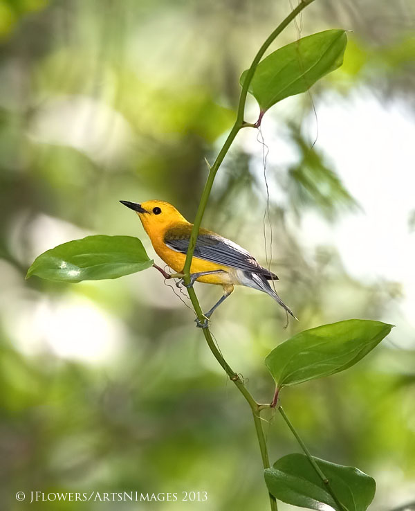 Prothonotary Warbler, Great Cypress Swamp, Delaware/Maryland