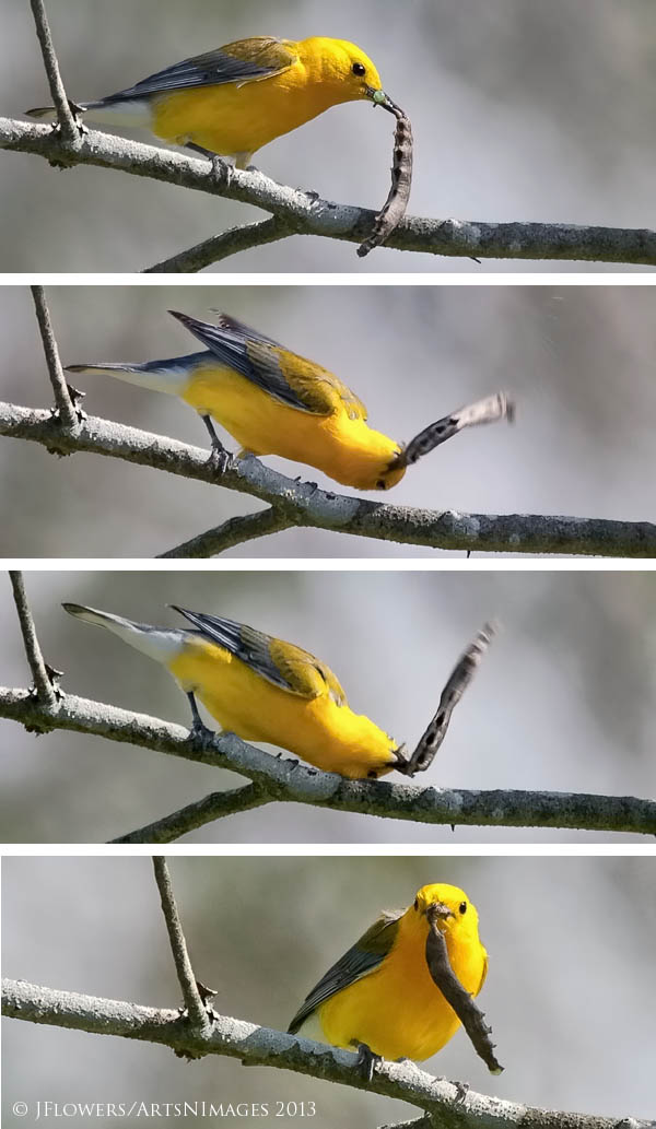 "Gotta Kill It First""  Prothonotary Warbler,  Decoursey Bridge, Dorchester County, Maryland"