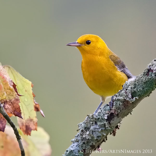 Prothonotary Warbler,  Decoursey Bridge,  Dorchester County, Maryland