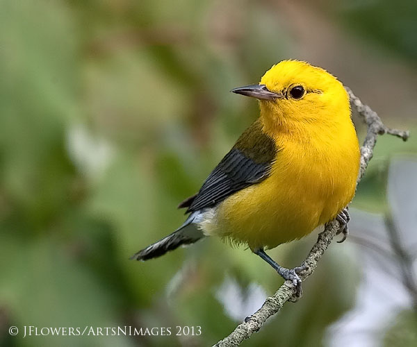 Prothonotary Warbler, Finis Pool, Bombay Hook National Wildlife Refuge, Delaware