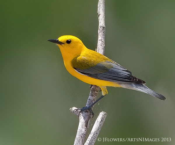 Prothonotary Warbler, Trinity River Island Recreation Area, Texas