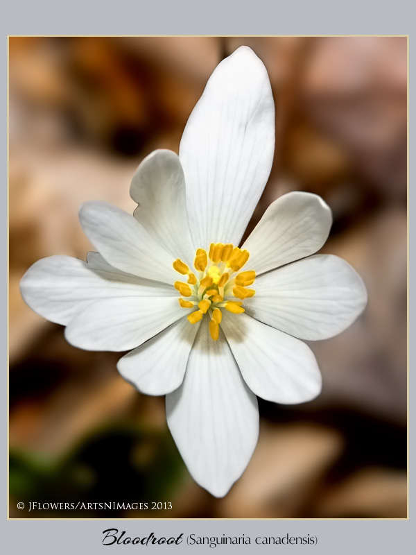 Bloodroot  image 10