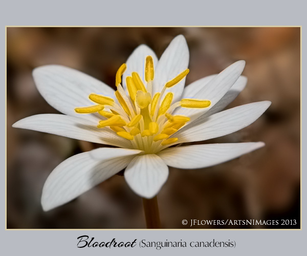 Bloodroot  image 2
