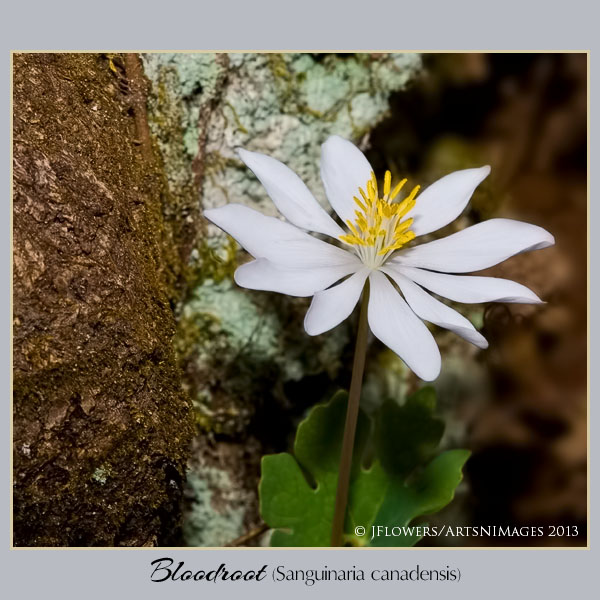 Bloodroot  image 4