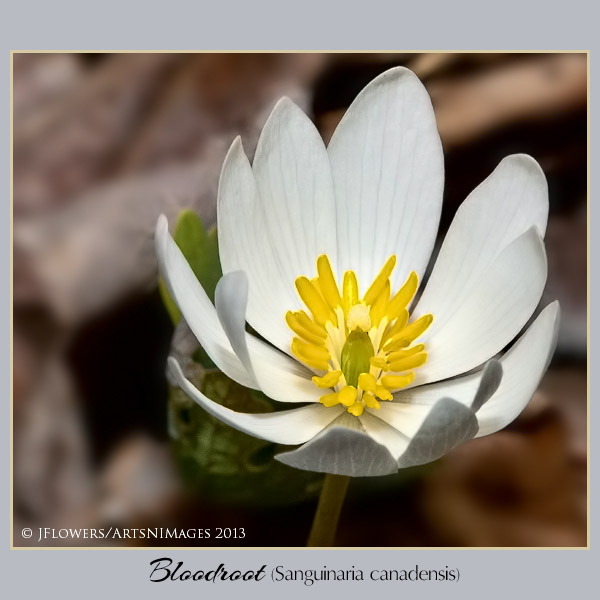 Bloodroot  image 5