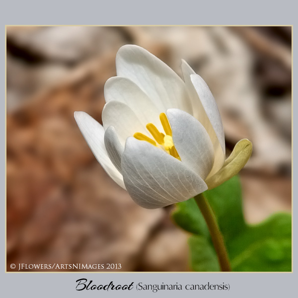 Bloodroot  image 6