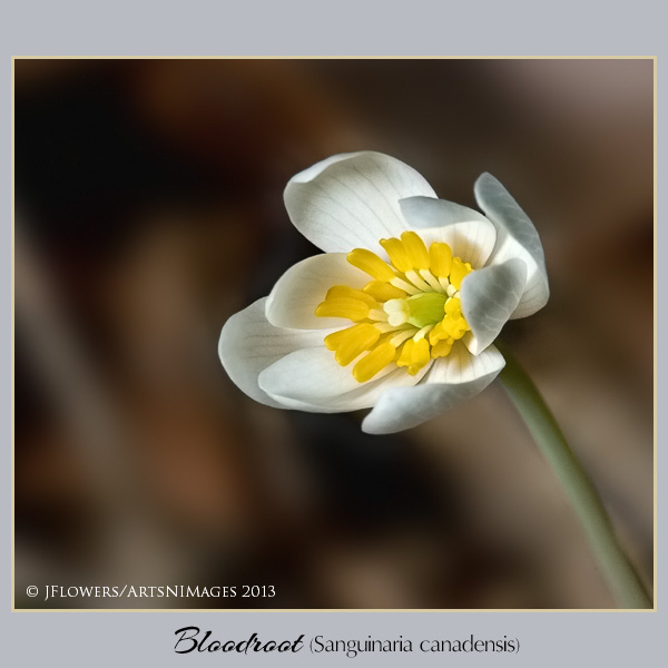 Bloodroot  image 7