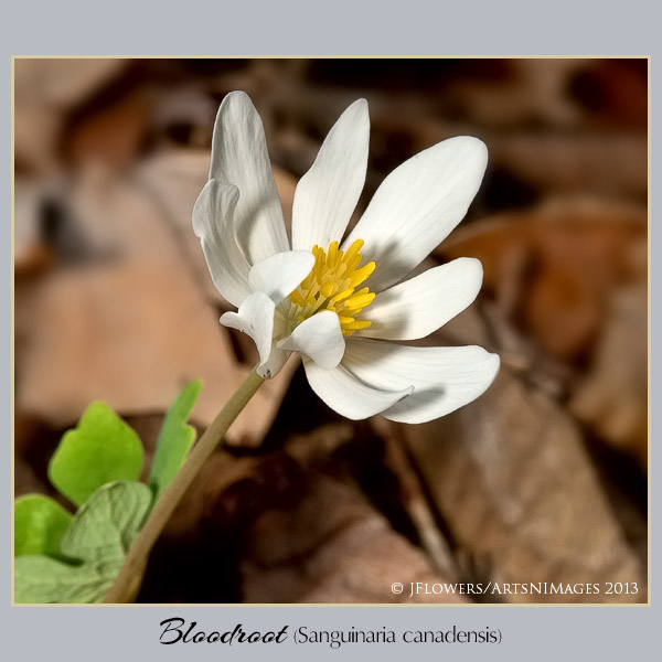 Bloodroot  image 8