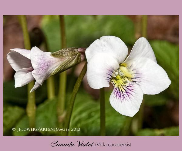 Canada violet