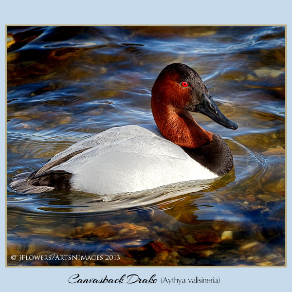 Canvasback 1