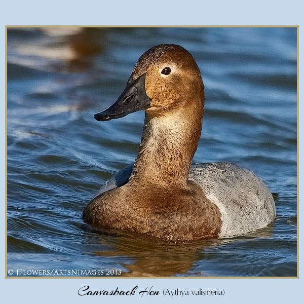 Canvasback 3