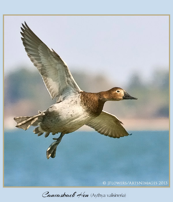 Canvasback 4