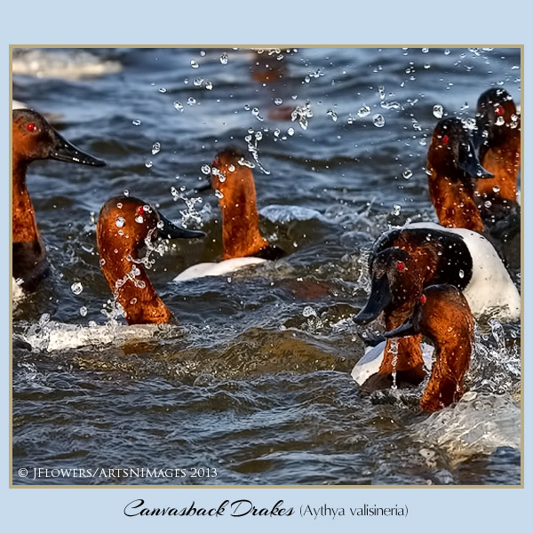 Canvasback 6