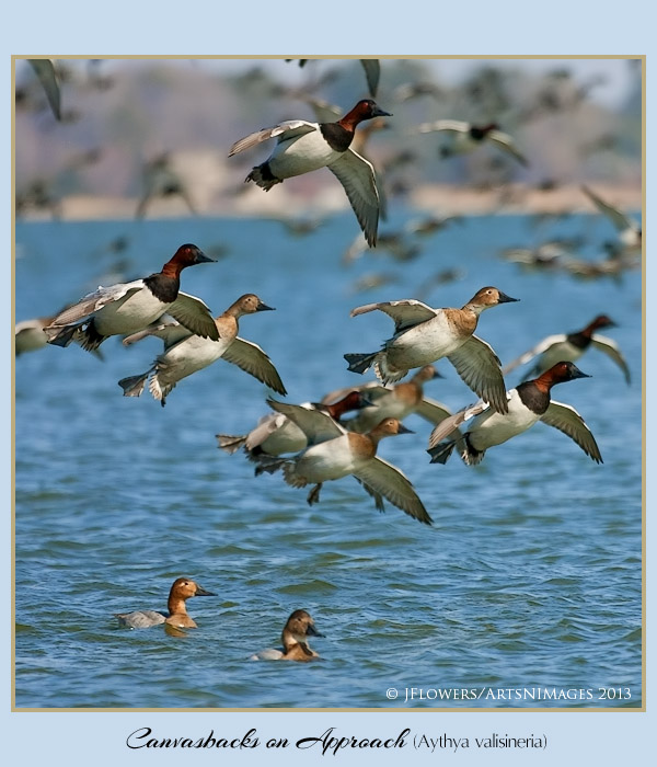 Canvasback 7