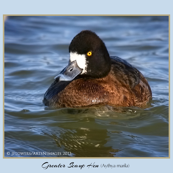 greater scaup h1