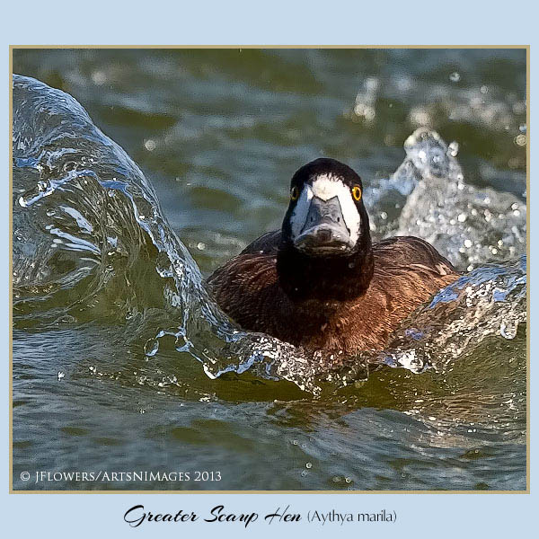 greater scaup h2