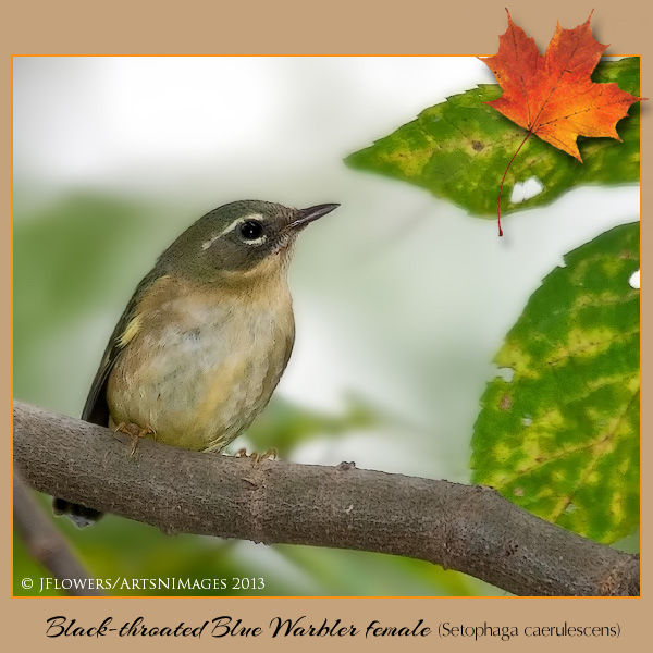 Black-throated blue warbler - female