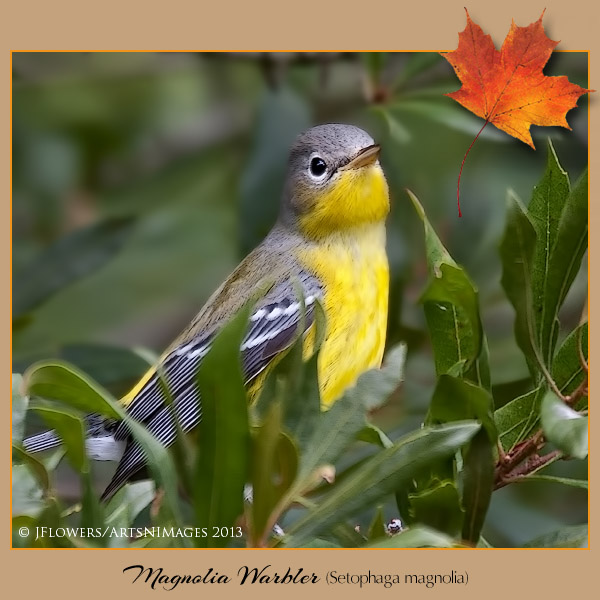 magnolia warbler fall - photo #38