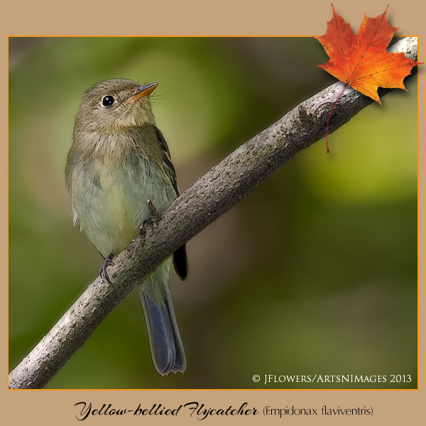Yellow-belliedFlycatcher1304