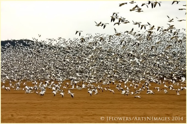 Middle Creek flock