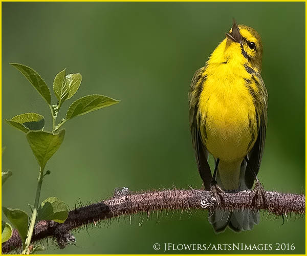 Prairie Warbler 1