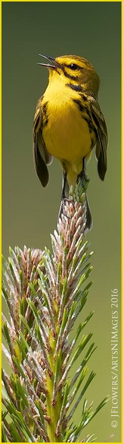 Prairie Warbler 2