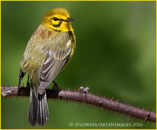 Prairie Warbler 8