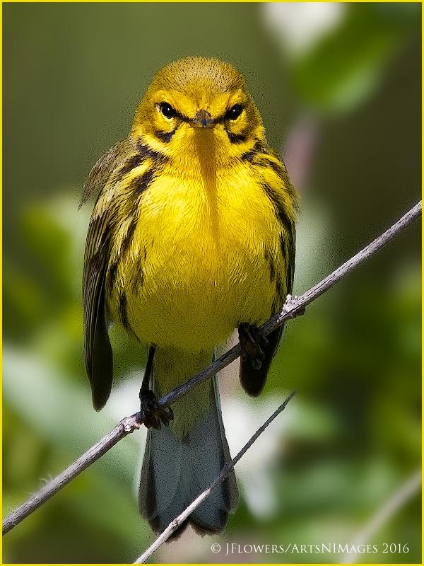 Prairie Warbler 9